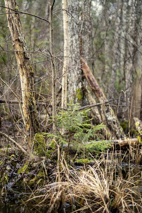 old dry tree trunk stomps laying in forest stock images