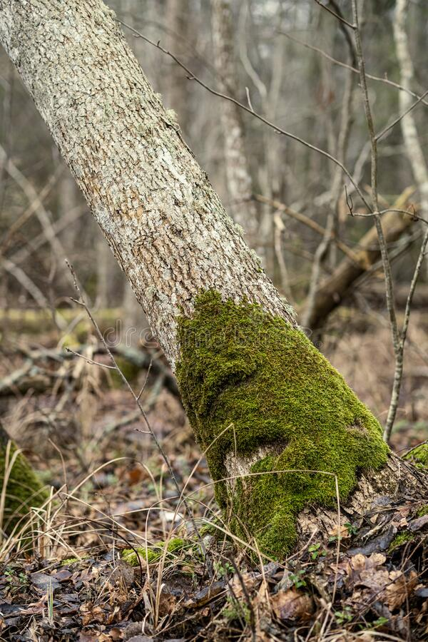 old dry tree trunk stomps laying in forest royalty free stock photo