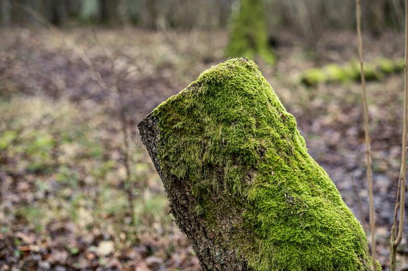 old dry tree trunk stomps laying in forest royalty free stock photography