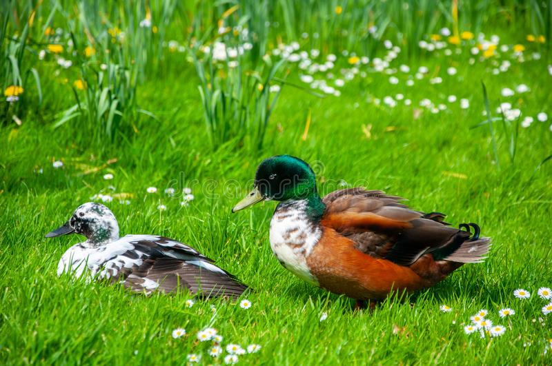 Old duck taking care about young duck while sitting on the grass. During the sunny day stock image