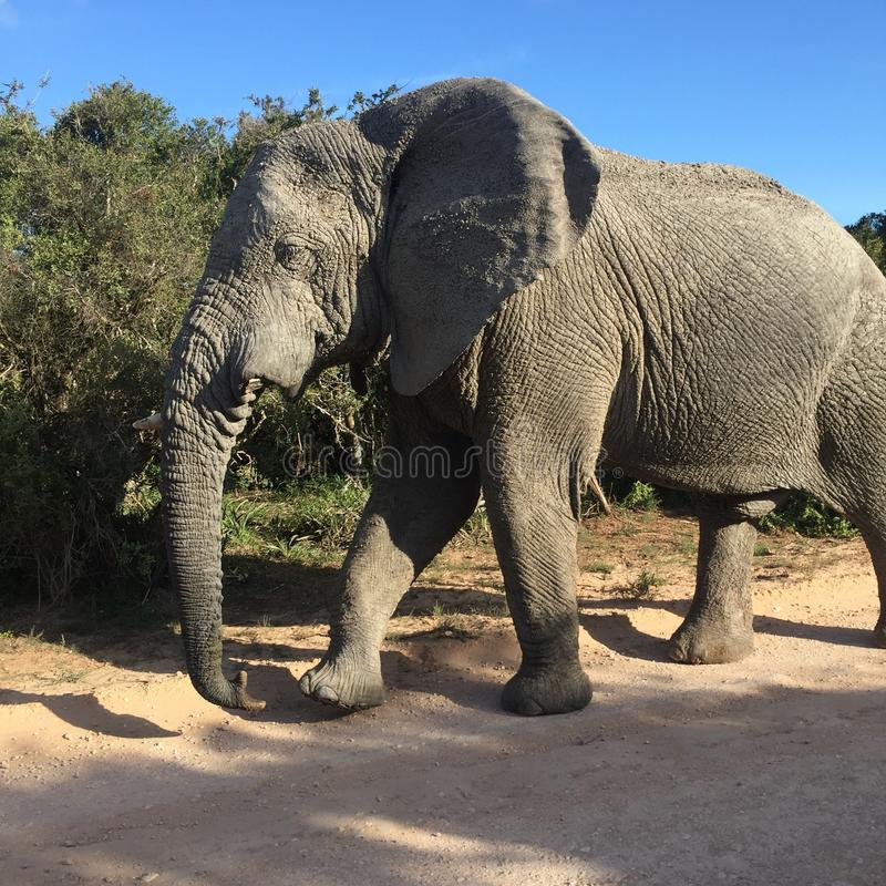 Old elephant bull stock images