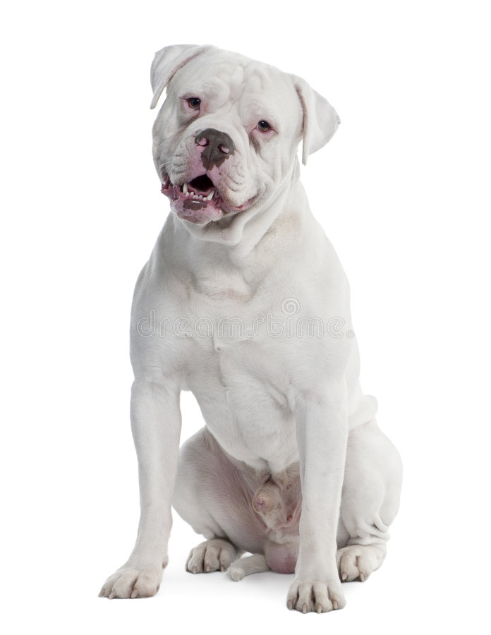 Old english Bulldog (2 years old). In front of a white background royalty free stock photos