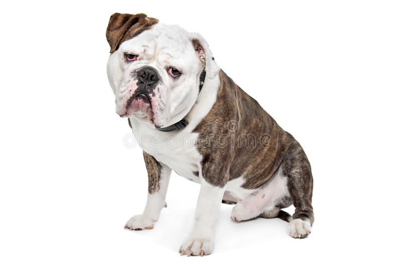 Download Old English Bulldog stock image. Image of people, sitting - 25682333