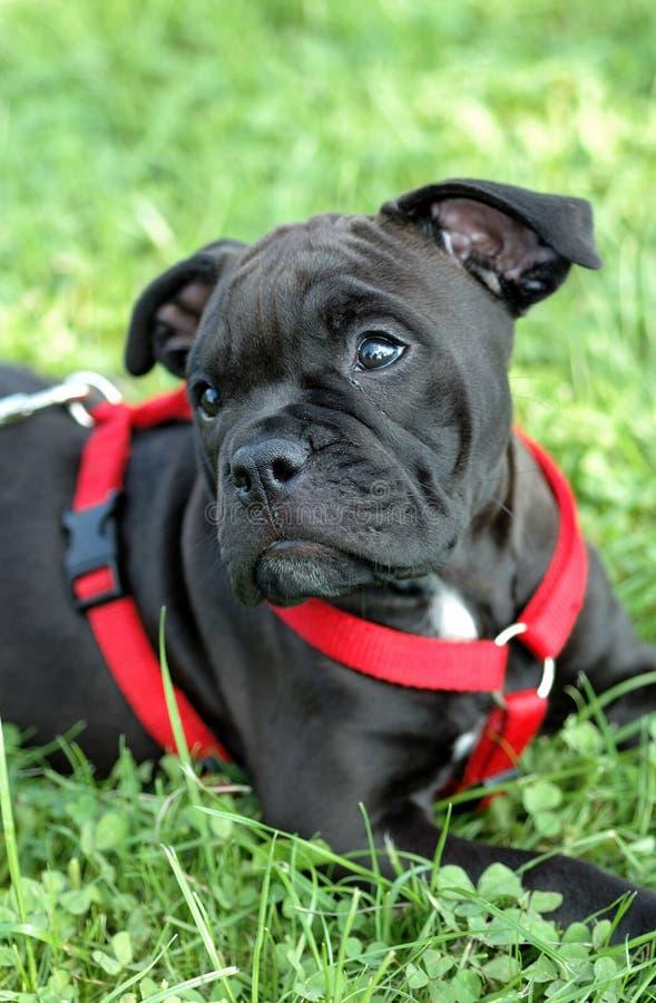 Old english bulldog. Very cute old english bulldog puppy stock image