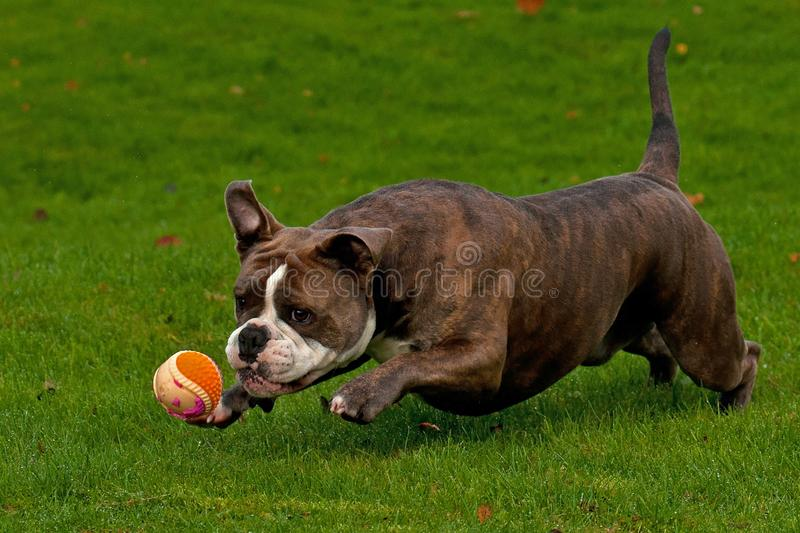 Old English Bulldog attacks a ball. A powerful and muscular Old English Bulldog explosively attacks a ball in the air royalty free stock photography