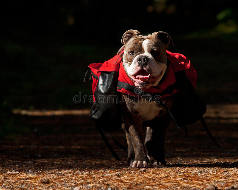 Dog backpack ....Old English Bulldog carry bags on their back royalty free stock photos
