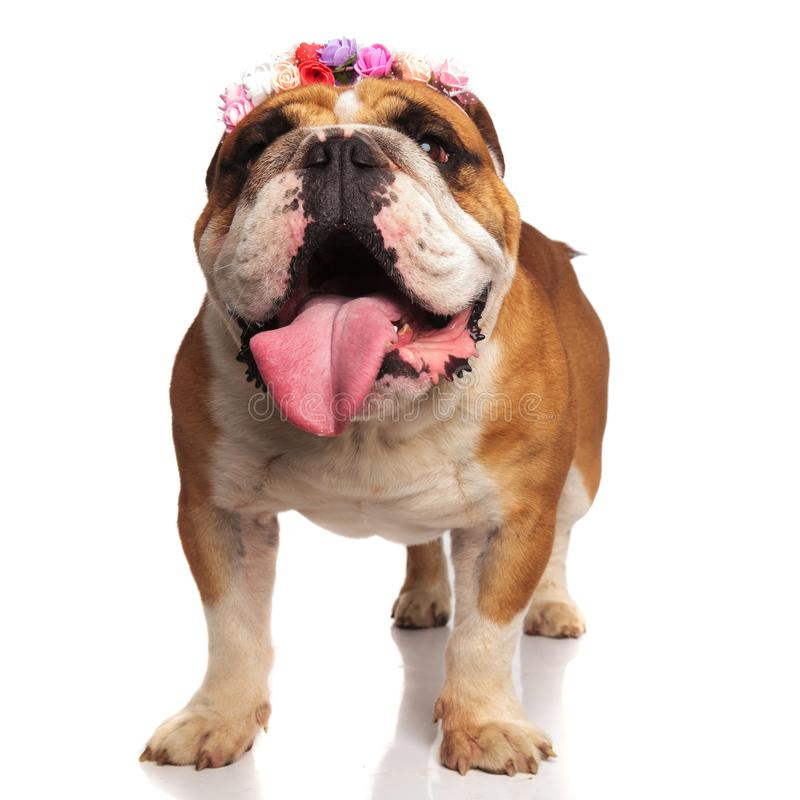 Old english bulldog with colored flowers headband is excited stock photo