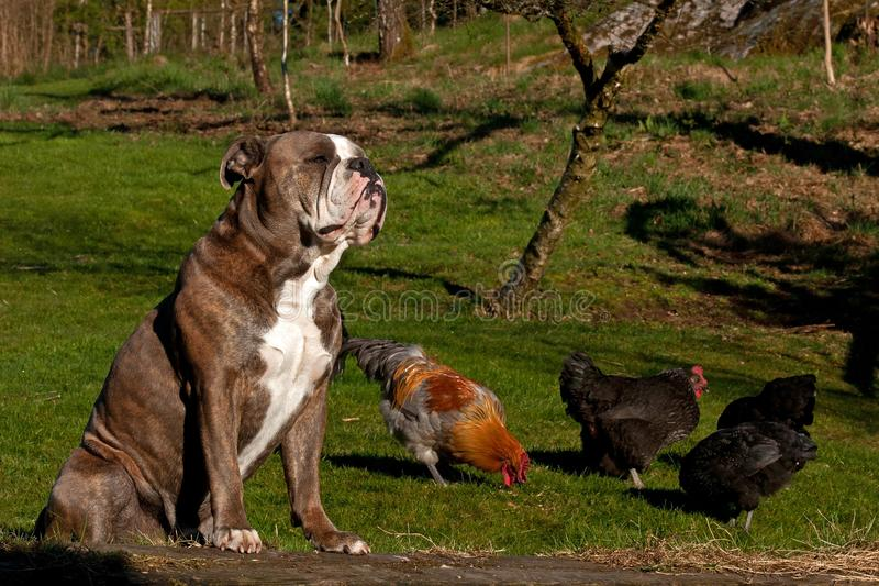 Old English Bulldog guardes chickens against predators. On the grass in the summer royalty free stock photos