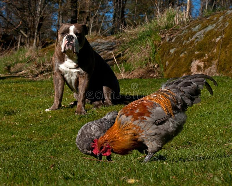 Old English Bulldog guardes chickens against predators. On the grass in the summer stock images