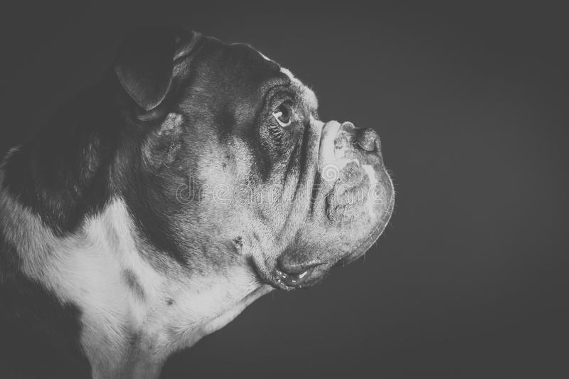 The old english bulldog portrait from the side. Artfully in black and white royalty free stock images