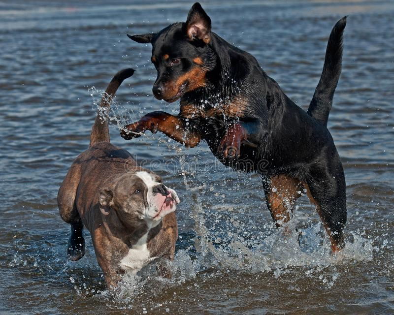 An Old English Bulldog and a Rottweiler play and swim. In the sea on a sunny summer day royalty free stock photos