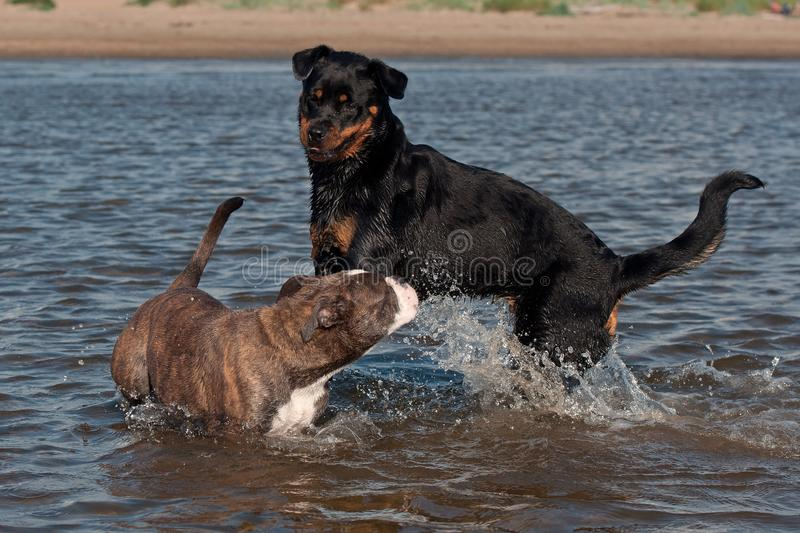 An Old English Bulldog and a Rottweiler play and swim. In the sea on a sunny summer day royalty free stock image