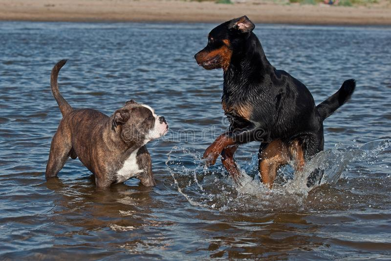 An Old English Bulldog and a Rottweiler play and swim. In the sea on a sunny summer day stock photography