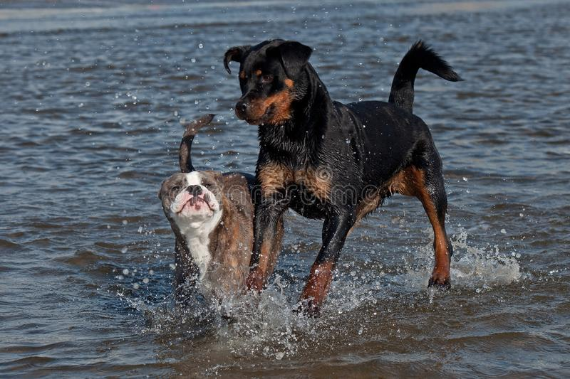 An Old English Bulldog and a Rottweiler play and swim. In the sea on a sunny summer day stock photos
