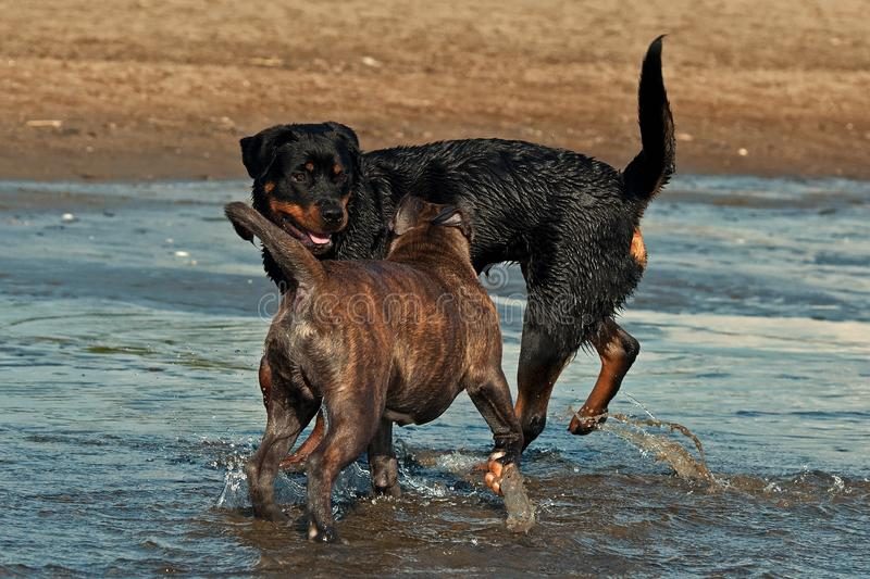 An Old English Bulldog and a Rottweiler play and swim. In the sea on a sunny summer day stock photo