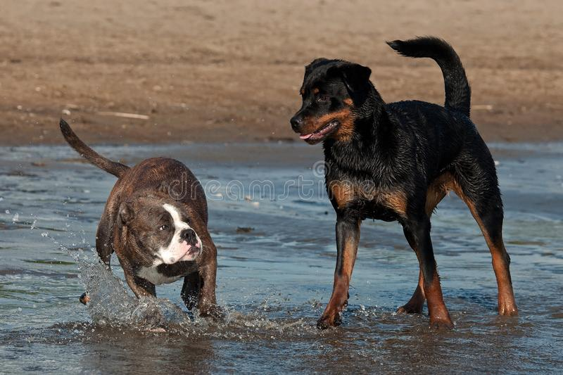 An Old English Bulldog and a Rottweiler play and swim. In the sea on a sunny summer day stock image