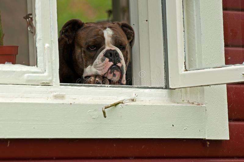 Old English Bulldog sits in a window. Looking out royalty free stock photography