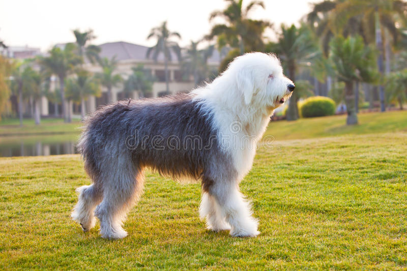 Old english sheepdog. An old english sheepdog is walking in the grassland stock images