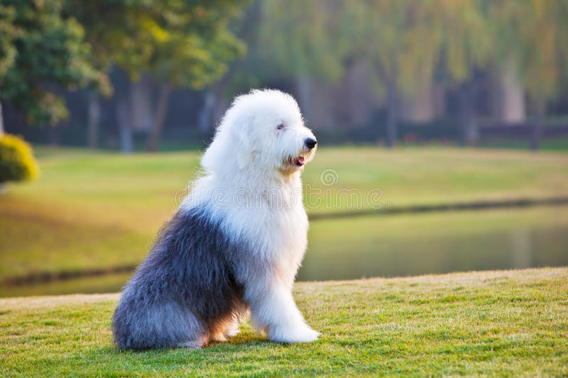 Old english sheepdog. An old english sheepdog sits in the grassland royalty free stock photo