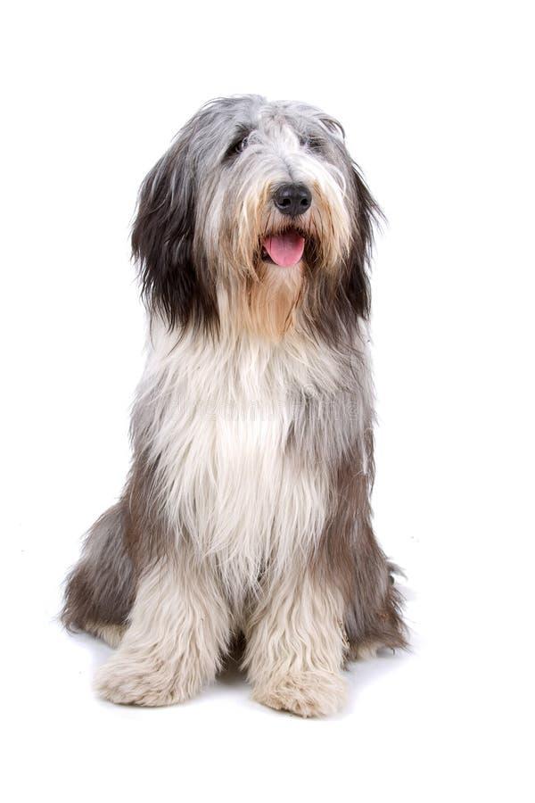 Free Old English Sheepdog (bobtail) Stock Image - 14317501