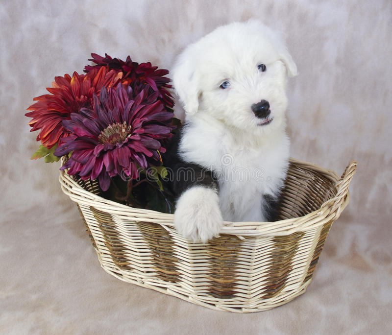 Old English Sheepdog Puppy. Cute Sheepdog puppy sitting in a basket with flowers stock photos