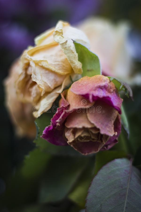 Old faded roses in a bouquet stock photography