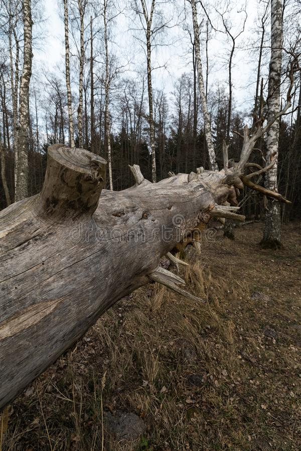 Old fallen decayed dry tree in the forest with birch trees in the background - Veczemju Klintis, Latvia - April 13, 2019 stock image