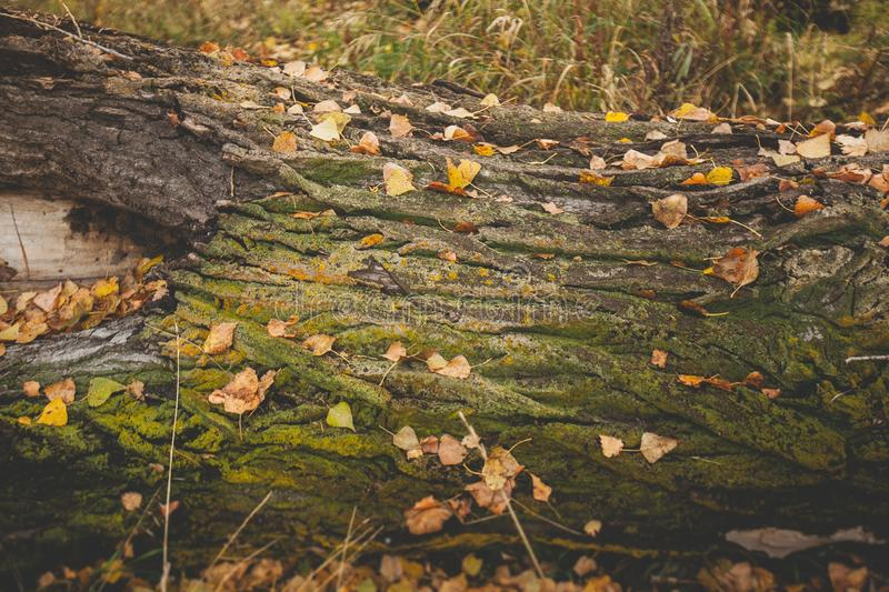 Old fallen tree covered with moss and yellow leaves close-up. Background. Texture stock images