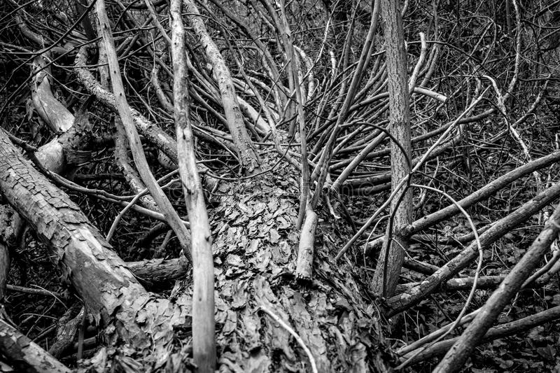 Old fallen tree in the forest. Black and white photography royalty free stock photo