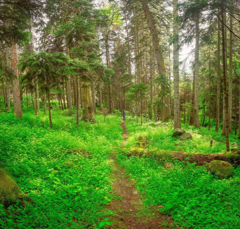 Old fallen tree in a thick green grass in a coniferous forest stock photography