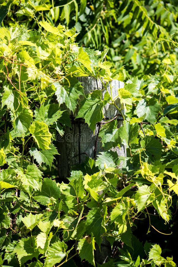 Old Farm Fence Post Peaks Out From The Wild Grapes royalty free stock photos