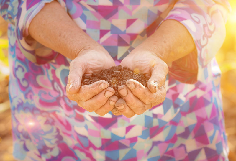 Old farmer holding pile of arable soil in hands stock photography