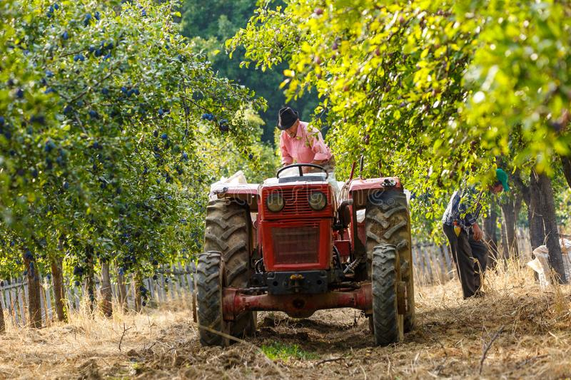 Old farmer with tractor harvesting plums. Old farmer with tractor and trailer loading plums at harvest time in an orchard stock images
