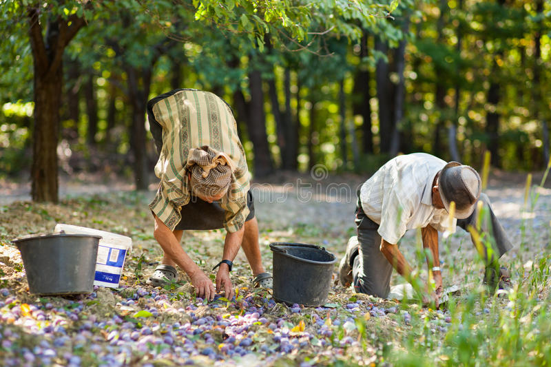 Old Farmers Picking Plums Royalty Free Stock Images