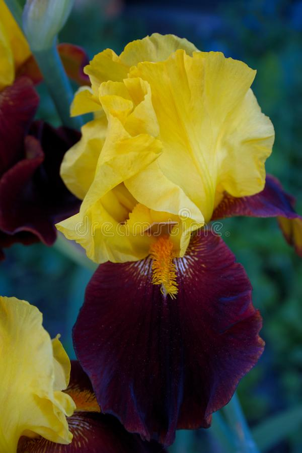 Old Fashioned Bearded iris in full bloom. Yellow and brown Old Fashioned Bearded iris in full bloom stock image