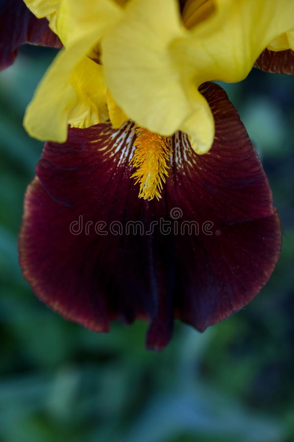 Old Fashioned Bearded iris in full bloom. Yellow and brown Old Fashioned Bearded iris in full bloom royalty free stock photography
