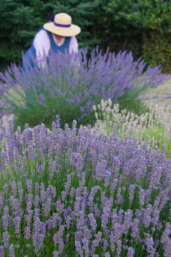 Download Old-fashioned Lavendar Gardener Stock Photo - Image of fashioned, bouquet: 20745756