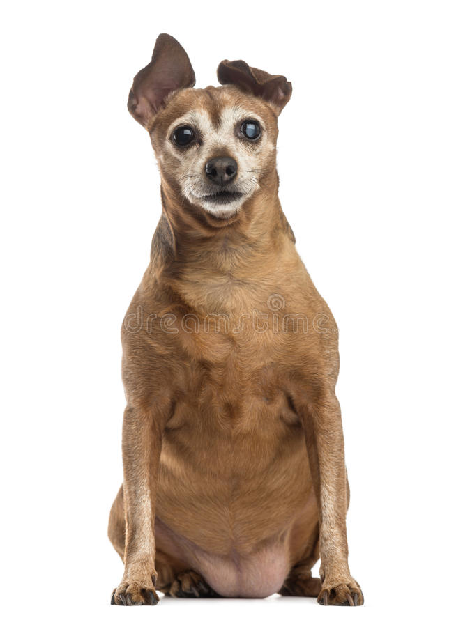 Download Old And Fat Dog (9 Years Old) Stock Image - Image of background, cross: 41269167