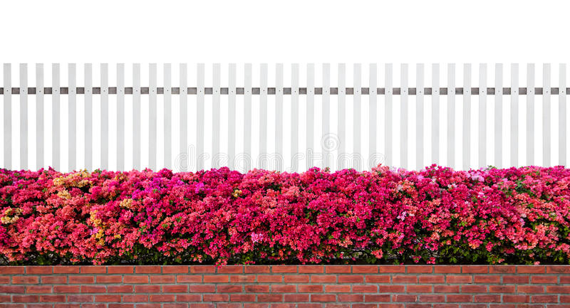 Old fence wood and varicoloured bougainvillea paper flowers isolated. On white background stock images