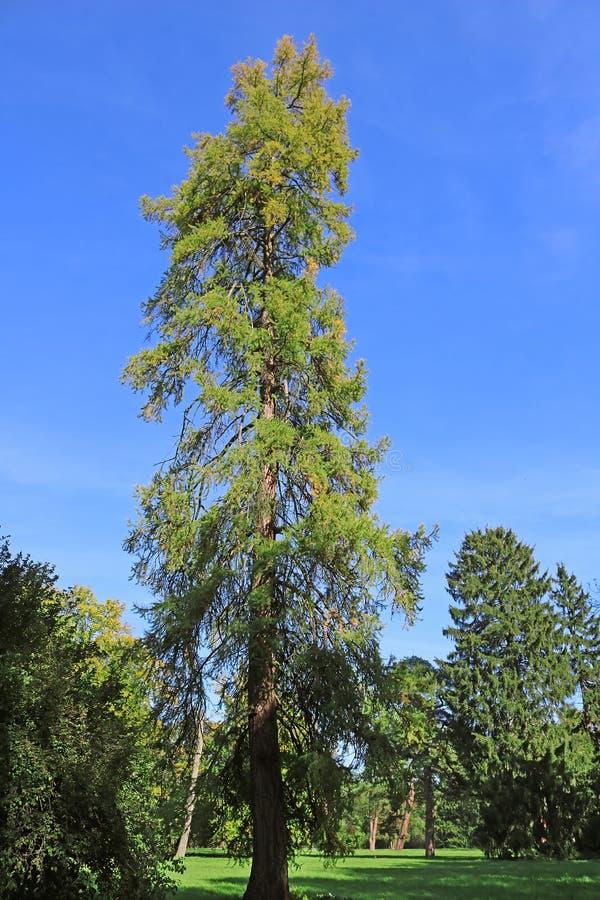 Old fir in park Oleksandriya in Bila Tserkva, Ukraine. Europe royalty free stock photos