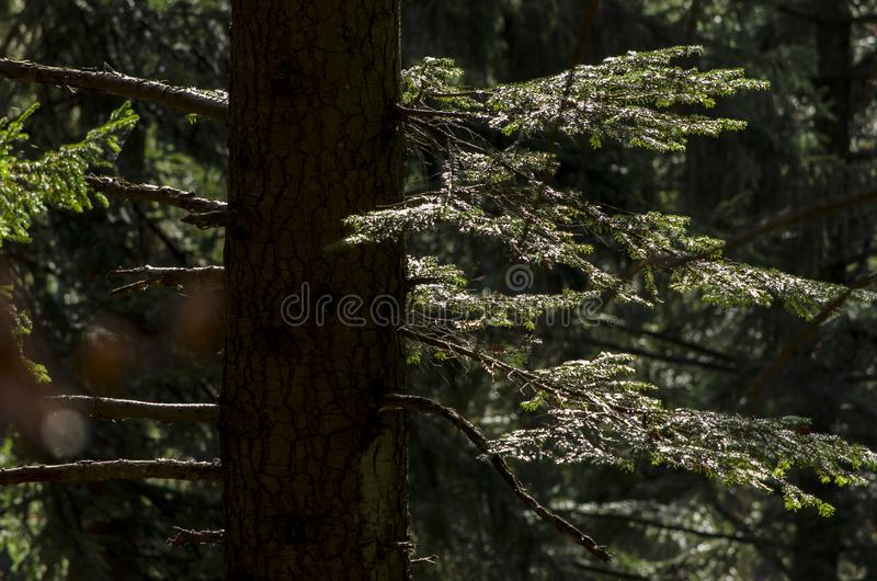Old fir tree in autumn light royalty free stock photography