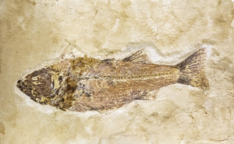 Old fish fossil in stone. Fossil of a fish imprinted into stone in a museum stock image