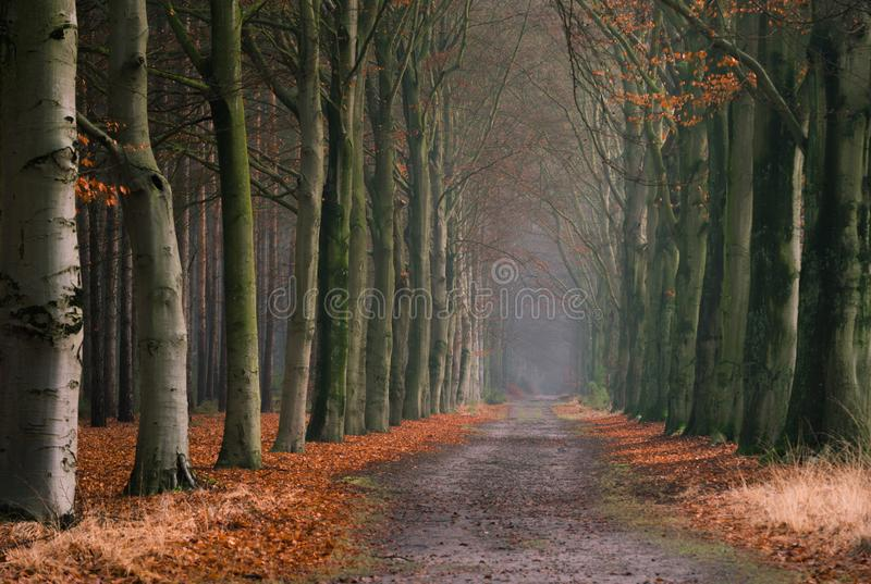 Old forest dirt road lined with trees and fall leaves in Kapellenbos in Kapellen, located in the Belgian province of Antwerp. Old dark scary looking forest with stock image