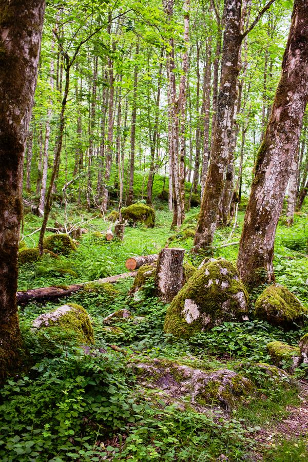 Old forest with mossy trees royalty free stock photos