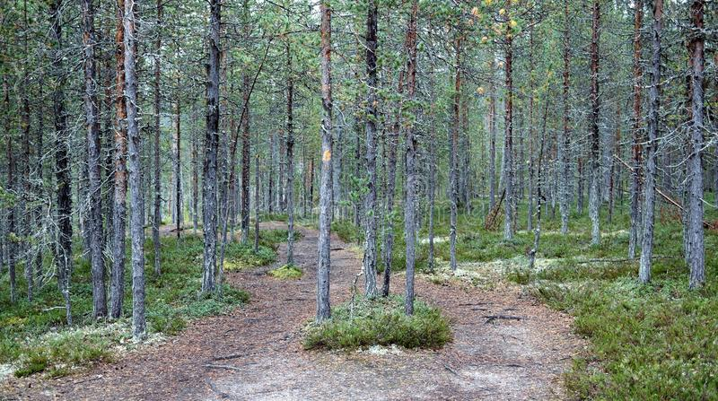 Old forest. A part of Oulanka national park, Karhunkierros trail stock photo