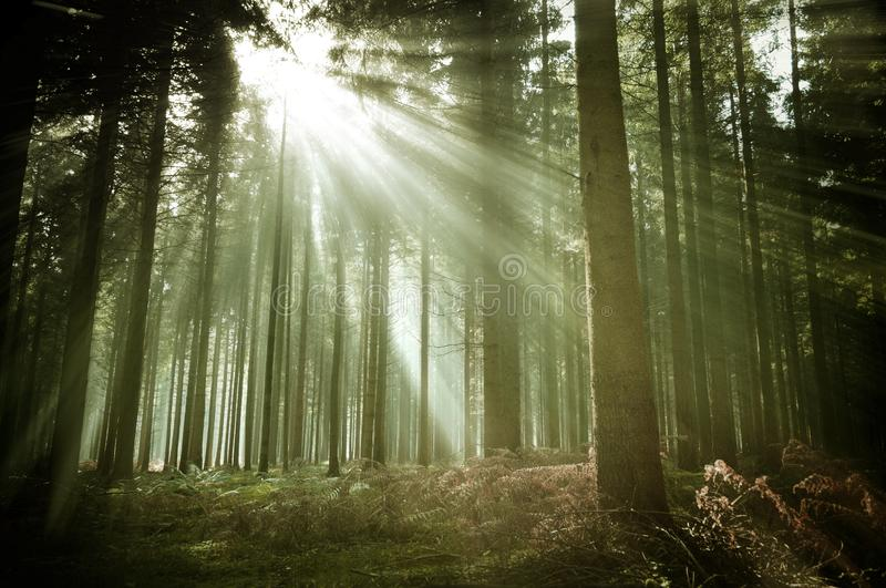Old Forest Woodland with Sun Rays royalty free stock images