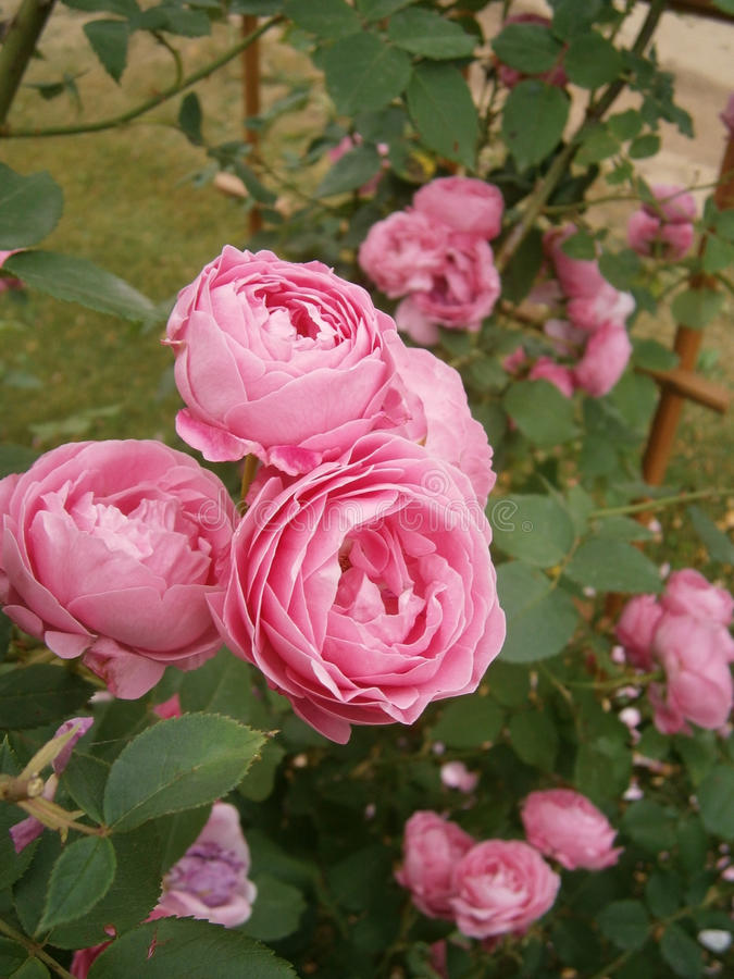 Old French Rose Louise Odier stock photos