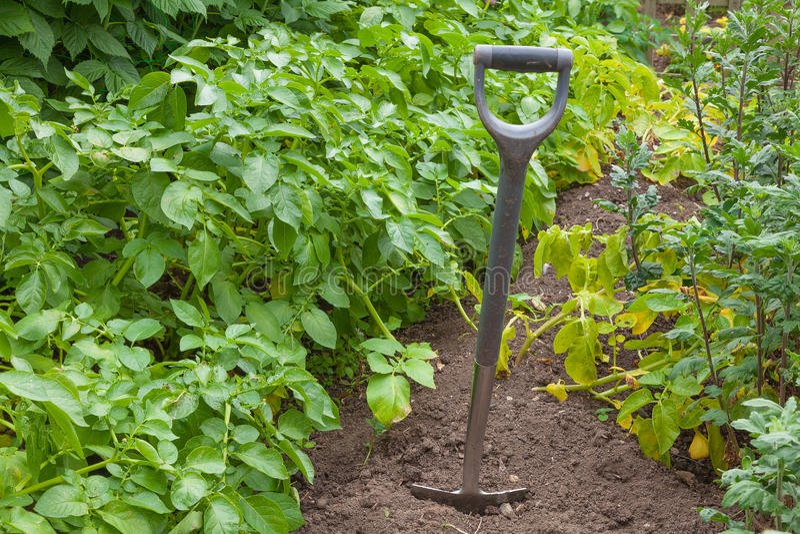 Old garden spade digging potatoes. Garden spade in a potato plot ready for digging royalty free stock image