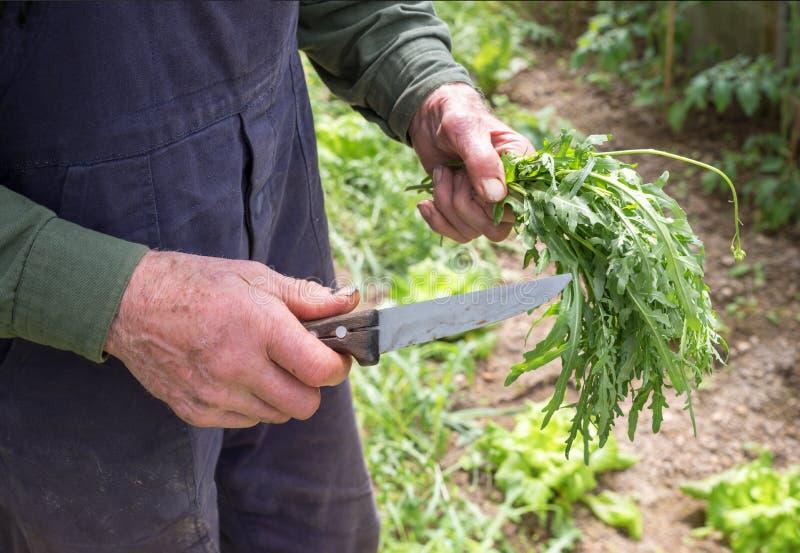 Old gardener harvesting a bunch of rocket salad royalty free stock image