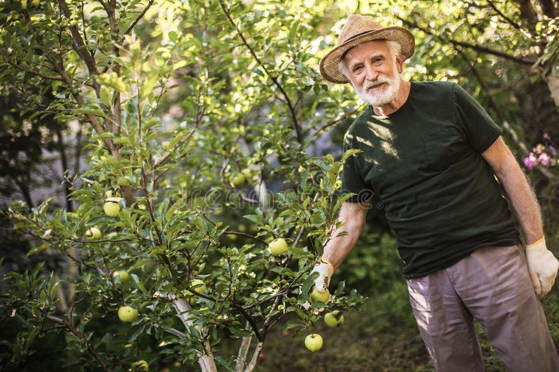 Old gardener reaping fruits of his labor stock image